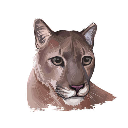 Cougar large felid native to Americas isoated wildlife cat. Digita art illustration of mountain lion, puma, red tiger and catamount. Puma concolor North American cougar hunting savanna season wildcat