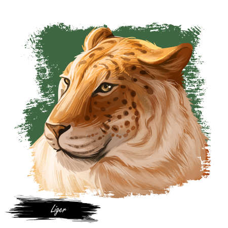 Liger hybrid offspring of lion and tiger, watercolor portrait closeup. Animal digital art illustration. Fauna of India, member of carnivora family. Asian breed, carnivorous depiction in profile 写真素材