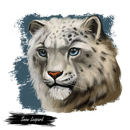 Snow leopard portrait in close up. Watercolor digital art illustration of Panthera uncia. Mammal with thick fur and furry coat. Uncia wild animal from Feline family. Catlike carnivore creature