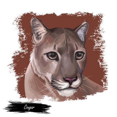 Cougar large felid native to Americas isoated wildlife cat. Digita art illustration of mountain lion, puma, red tiger, and catamount. Puma concolor North American cougar hunting savanna season wildcat 写真素材