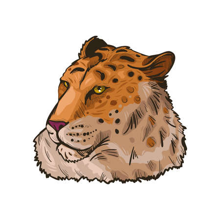 Liger hybrid offspring of lion and tiger isolated vector illustration hand drawn portrait sketch. Exotic animal, safari hunting season. Fauna India, member of carnivora family. Asian breed carnivorous