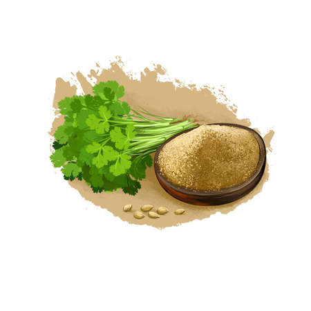 Dhania - Coriander ayurvedic herb digital art illustration with text isolated on white. Healthy organic spa plant widely used in treatment, for preparation medicines for natural healthcare Stock Photo