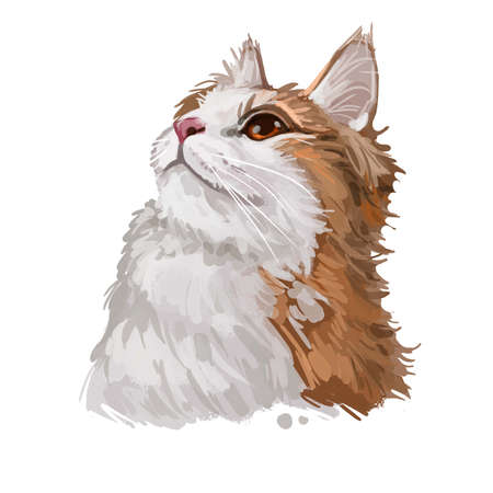 Cymric or Longhair Manx cat isolated on white. Digital art illustration of hand drawn kitty for web. Kitten with soft bicolor, white and ruddy, coat with deep brown eyes, domestic breed animal