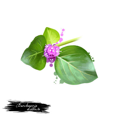 Punarnava - Boerhaavia diffusa ayurvedic herb, flower. digital art illustration with text isolated on white. Healthy organic spa plant widely used in treatment, preparation medicines for natural usage Zdjęcie Seryjne