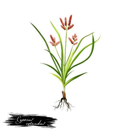 Nagarmotha - Cyperus rotundus ayurvedic herb, flower. digital art illustration with text isolated on white. Healthy organic spa plant widely used in treatment, preparation medicines for natural usage