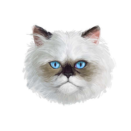 Colorpoint Persian cat isolated on white background. Digital art illustration of hand drawn domestic pet for web icon. Head of kitten with dense and fluffy ashy grey shade of coat and purple eyes