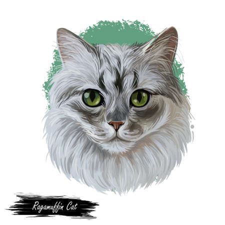 Ragamuffin breed of domestic cat isolated hand drawn portrait. Ragdoll with thick, rabbitlike fur digital art illustration. Domestic pussy cat print for web, cover, pet shop emblem, cute kitten