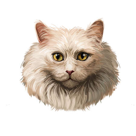 Maine Coon Cat the largest domesticated cat breed isolated on white background. Digital art illustration of hand drawn kitty for web. Kitten breed of domestic pet. American Longhair Forest Cat