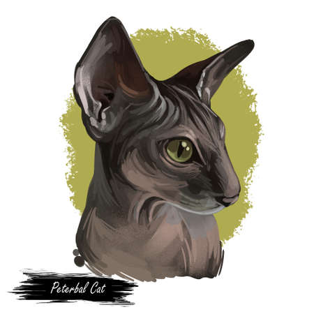 Peterbald cat breed isolated domestic animal. Digital art illustration of pet portrait, Oriental Shorthair with hair-losing gene. Domestic pussy cat print for web, cover, pet shop emblem, cute kitten