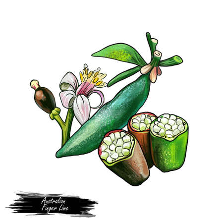 Australian Finger Lime Citrus australasica isolated digital art illustration with flower, fruit and seeds. Caviar lime, thorny understorey shrub, green skin type finger lime with juice vesicles Imagens