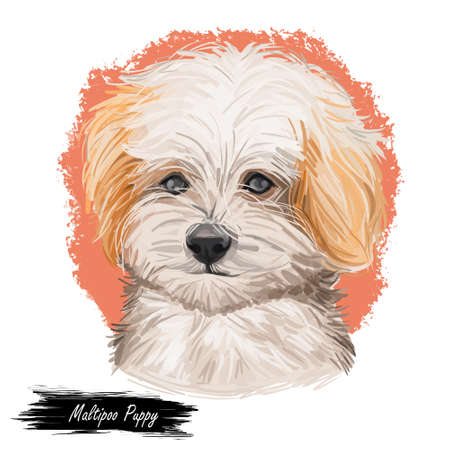 Maltipoo Puppy digital art illustration isolated on white Imagens