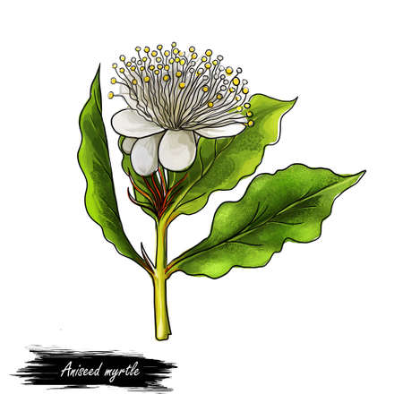 Aniseed myrtle green herb digital art illustration. Aromatic cooking condiment, allspice flower and green leaves