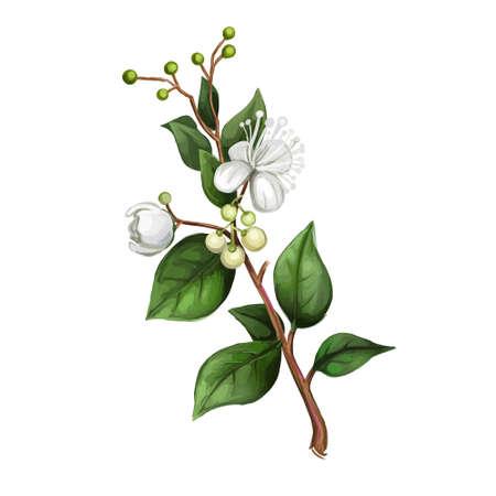 Lemon Myrtle Detail isolated digital art illustration. Flowers on green stem, Australian hand drawn plant. lemon myrtle, lemon scented myrtle, lemon scented ironwood flowering plant 版權商用圖片
