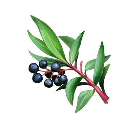 Native Pepperberries isolated digital art illustration. Tasmannia lanceolata Drimys lanceolata, Tasmanian pepperberry, mountain or Cornish pepper leaf. Hand drawn black berries and leaves