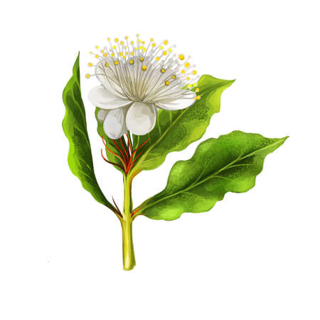 Aniseed myrtle green herb digital art illustration. Aromatic cooking condiment, allspice flower and green leaves. White flower australian plant. Ringwood and aniseed tree, Syzygium anisatum 免版税图像