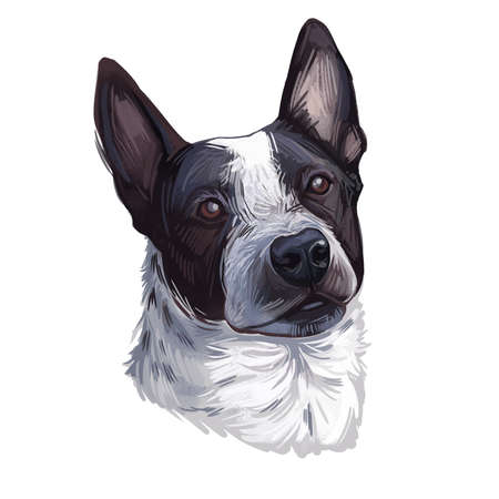 Shepherd or McNab Collie isolated digital art illustration. Hand drawn dog muzzle, McNab Stock Dog, Collie in black and white, Sheepdog. American breed, Northern California, friendly domestic dog