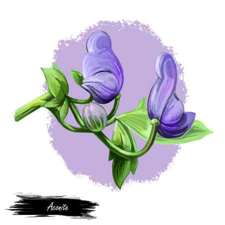 Aconite monkshood, wolfsbane, aconitum digital art illustration. Aconitum leopards bane, mousebane, womens bane, devils helmet, queen of poisons, blue rocket. Blooming blue flowers and green leaves. Stock fotó