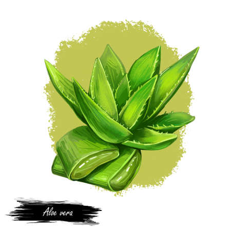 Aloe vera isolated medicinal herb hand drawn digital art illustration. Succulent plant species of Aloe, evergreen perennial. Cut and whole plant leaves with inner gel used in cosmetic and medicine.