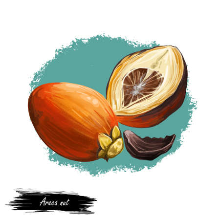 Areca betel nut isolated digital art illustration. Seed of palm Areca catechu, chewing betelnut. Indian plant, asian herb or fruit. Chewing tobacco, harmful effects on health and carcinogenic nut.