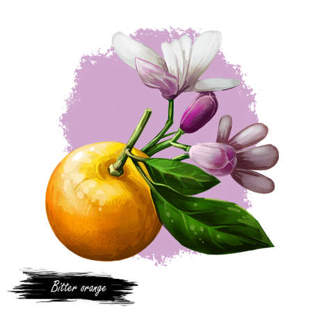 Bitter Seville sour bigarade marmalade orange citrus tree Citrus aurantium leaf and purple flowers. Digital art illustration of tropical exotic fruit, essential oil, perfume flavoring or solvent.