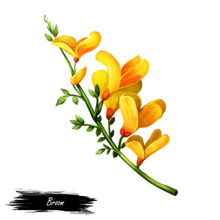 Broom flower, dyers greenwood, weed and whin, furze, green broom, greenweed, wood waxen digital art illustration of yellow blooming flowers. Genista tinctoria, lupine lupin gorse and laburnum. Stock fotó