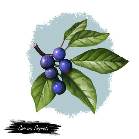 Cascara Sagrada bearberry plant with green leaves isolated digital art illustration. Rhamnus purshiana, cascara buckthorn sagrada and Chinook Jargon, chittem stick and chitticum Frangula purshiana.