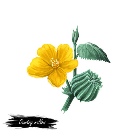 Country mallow heartleaf, silky white mallow isolated digital art illustration. Sida cordifolia flannel weed, bala, country mallow or heart-leaf sida perennial subshrub of Malvaceae native to India.