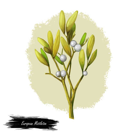 European common mistletoe isolated digital art illustration. Viscum album, mistle Viscum album growing on Populus species. Viscum album hemiparasite on several species of trees, herbal plant. Stock fotó