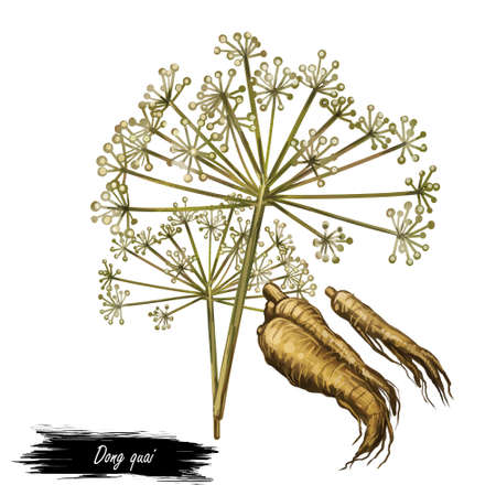 Dong quai female ginseng Angelica sinensis herb belonging to family Apiaceae, indigenous to China, digital art illustration. Yellowish brown root of plant harvested in asia, Chinese medicine plant. Stock fotó
