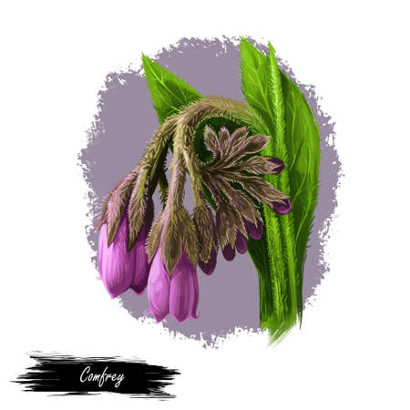 Comfrey or comphrey, blackwort, common comfrey, slippery root digital art illustration. Quaker-comfrey, cultivated boneset, knitbone, consound, and slippery-root used in cosmetics and medicine.