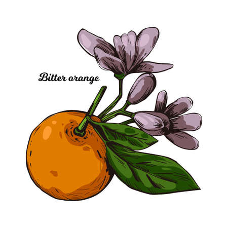 Bitter Seville sour bigarade marmalade orange citrus tree Citrus aurantium leaf and purple flowers. Vector illustration of tropical exotic fruit, essential oil, perfume flavoring or solvent Illusztráció