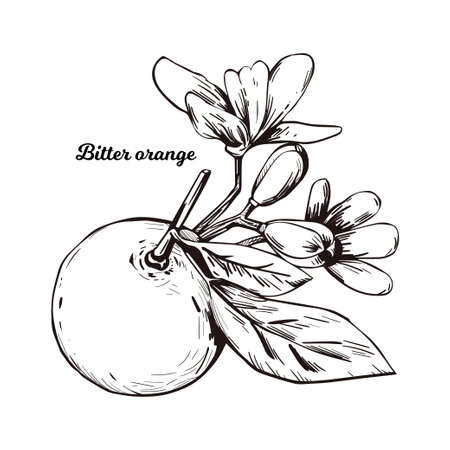 Bitter Seville sour bigarade marmalade orange citrus tree Citrus aurantium leaf and flowers. Vector illustration of tropical exotic fruit, essential oil, perfume flavoring or solvent, monochrome icon