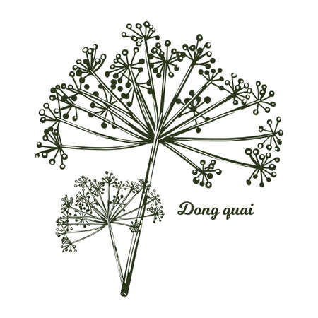 Dong quai female ginseng Angelica sinensis herb belonging to family Apiaceae, indigenous to China, vector illustration. Yellowish brown root of plant harvested in asia, Chinese medicine plant 矢量图像