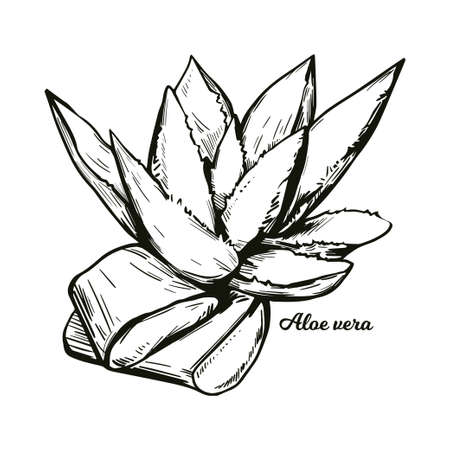 Aloe vera isolated medicinal herb hand drawn vector illustration. Succulent plant species of Aloe, evergreen perennial. Cut and whole plant leaves with inner gel used in cosmetic and medicine