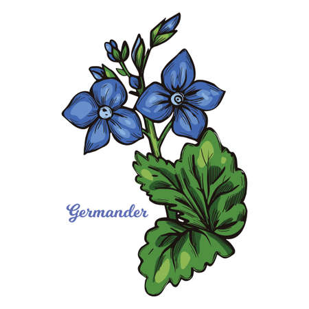 Germander Teucrium perennial plants in family Lamiaceae isolated vector illustration. Germanders herb, shrubs and subshrub. Teucrium capitatum or Mountain germander, blue flowers and green leaves