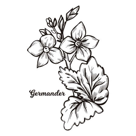 Germander Teucrium perennial plants in family Lamiaceae isolated vector illustration. Germanders herb, shrubs and subshrub. Teucrium capitatum or Mountain germander, flowers and leaves monochrome