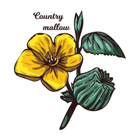 Country mallow heartleaf, silky white mallow isolated vector illustration. Sida cordifolia flannel weed, bala, country mallow or heart-leaf sida perennial subshrub of Malvaceae native to India