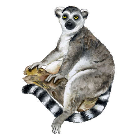 Watercolor closeup portrait of Madagascar Ring-tailed lemur or Lemur catta isolated on white background. Hand drawn sweet tropical pet. Greeting card, encyclopedia design. Clip art for web and print.