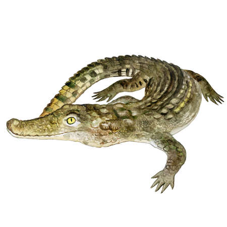 Watercolor closeup portrait of Nile crocodile animal isolated on white background. Hand drawn dangerous cold-blooded predator. Book, card, encyclopedia design. Clip art illustration for web and print.