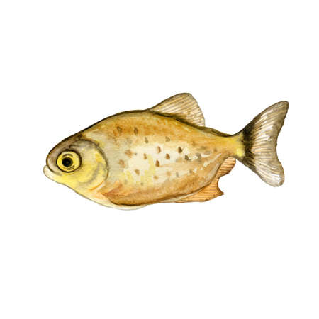 Watercolor closeup Piranha or Pirana fish isolated on white background. Hand drawn dangerous cold-blooded freshwater predator. Book, card, encyclopedia design. Clip art illustration for web and print.