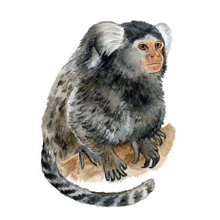 Watercolor closeup portrait Common Marmoset, Callithrix jacchus or Cotton Eared Marmoset isolated on white background. Hand drawn cute pet. Greeting card, encyclopedia design. Clip art for web, print. Stok Fotoğraf