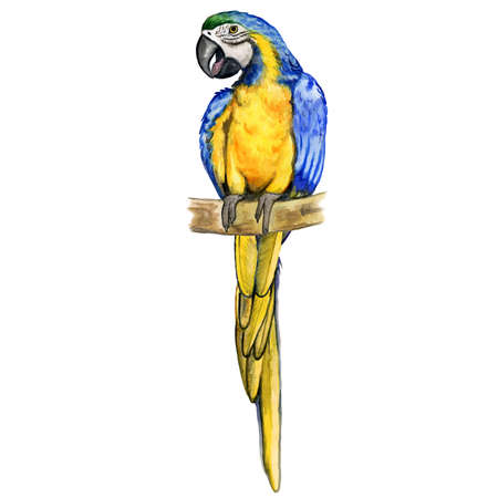 Blue-and-yellow Ara macaw parrot or Ara ararauna isolated on white background. Hand drawn colorful tropical bird, home pet. Greeting card design. Clip art for web, print. Watercolor closeup portrait.