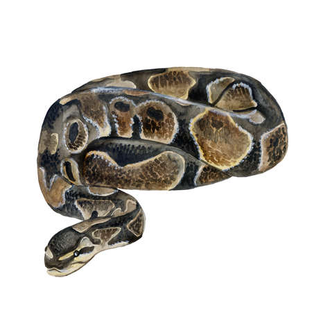Watercolor closeup portrait of Royal python or Python regius isolated on white background. Hand drawn cold-blooded dangerous predator. Encyclopedia design. Clip art illustration for web and print.