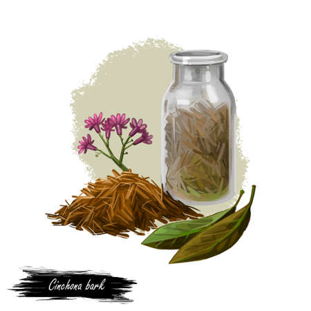 Cinchona bark digital art illustration. Blooming flowers and green leaves, bottle withdry herbs. Jesuits Bark, cinchona Peruvian Bark, China Bark, specific remedy for all forms of malaria, quinine.