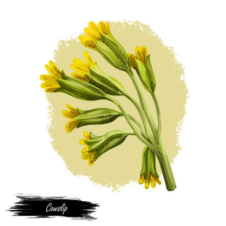 Cowslip digital art illustration. Primula veris, common primrose Primula officinalis Hill, herbaceous perennial flowering plant in primrose family Primulaceae. Blooming yellow flowers and green leaves Stock Photo