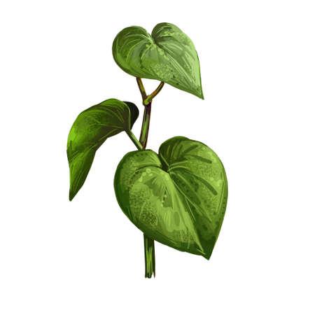 Kava isolated digital art illustration. Kava-kava pepper crop, green bitter leaves. awa or ava, yaqona sakau, seka and malok or malogu. Herb with adverse effect, medical remedy plant handdrawn