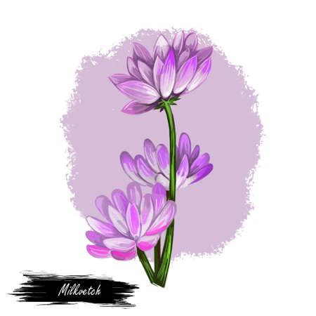 Milkvetch isolated digital art illustration. Astragalus herb, legume Fabaceae. Milkvetch purple flowers, locoweed or goats-thorn A. gummifer, A. tragacanthanagrestis field purple milkvetch, cocks-head Stock Photo
