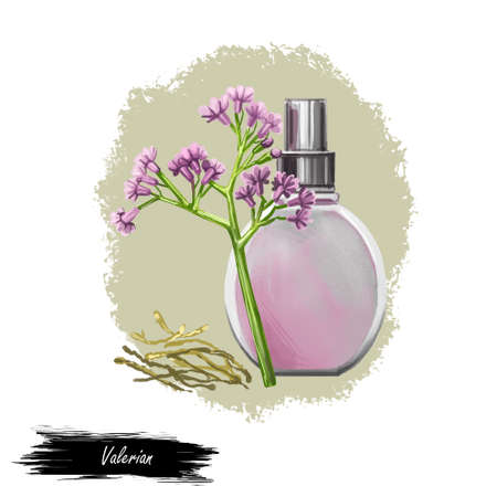 Valerian flowering plant fresh and dry and perfume bottle isolated digital art illustration. Garden valerian, garden heliotrope, setwall and all-heal medical plant. Herb with adverse effect, remedy Stock Photo