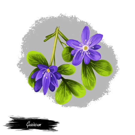 Guaiacum digital art illustration isolated on white. lignum-vitae, guayacan, or ga ac, blue flowers and green leaves. Herb with adverse effect. Guajacum, flowering plants in caltrop Zygophyllaceae