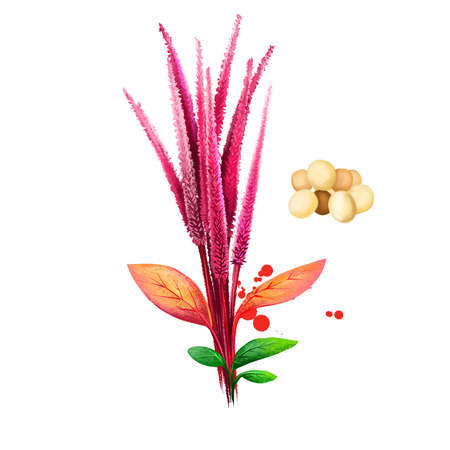 Amaranth vegetable isolated on white. Hand drawn illustration of Amaranthus, cultivated as leaf vegetables, pseudocereals, and ornamental plants. Organic food. Digital art with paint splashes effect Zdjęcie Seryjne
